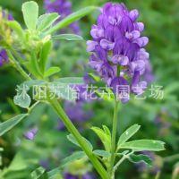 紫花苜蓿-三得利进口高产高蛋白农业部登记推广豆科苜蓿种子