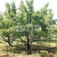 供应8-25cm 山楂树 景观树 山楂树报价 山楂树价格 大规格山楂树
