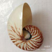 供应厂家批发天然鹦鹉螺 家居装饰鹦鹉螺饰品摆件 海螺贝壳