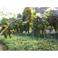 适合云南葡萄品种 葡萄苗厂价格 葡萄苗基地