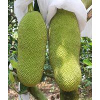 正宗海南新鲜水果,马来1号菠萝蜜批发供应