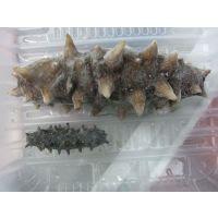 批发供应海参  胶东海参 海参的营养价值  怎样辨别海参