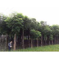 供应精品栾树,栾树价格,优质栾树产地