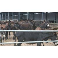 纯种驴喂养 一头州驴一天吃多少饲料 驴价格