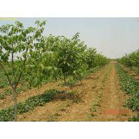 重庆8518核桃苗、8518核桃树苗新品种、8518核桃树苗基地