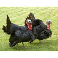 供应火鸡苗,贝帝纳火鸡,青铜火鸡,尼古拉火鸡,种苗