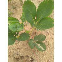 基地出售优质草莓苗 草莓苗价格 草莓苗品种 脱毒草莓苗 成活率高的草莓苗