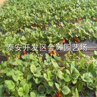 法兰地草莓苗四叶一心根系发达