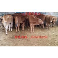 广东黄牛养殖场-育肥小牛犊多少钱一头