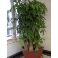 独杆发财树批发辫子大型植物盆栽室内办公大型绿化植物富贵树