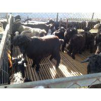 繁殖性能好  生产性能高的努比亚黑山羊种羊  怀孕黑山羊价格