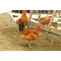 自生源禽业向全国供应大量:巫溪土鸡巫溪鸡苗巫溪土鸡苗巫溪固始鸡