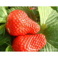 基地直销以斯列二号草莓苗