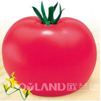 水果番茄种子 抗病高产西红柿种子 迪欧新冠蔬菜种子