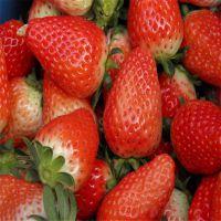 批发章姬草莓苗 大棚章姬草莓苗批发价格 多少钱一棵 脱毒种苗 高产果大 山东基地