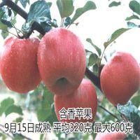 苹果苗 红肉苹果苗100%纯正 泰东园艺场
