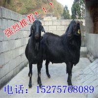 黑山羊繁殖技术 黑山羊疾病预防 努比亚黑山羊养殖 怀孕母羊价格