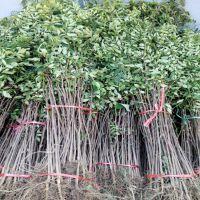 花椒树苗批发 大红袍花椒苗种植基地 量大优惠价格低廉