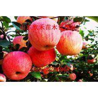 富士苹果苗 苹果苗规格 苹果苗报价 销量大富士苹果树苗