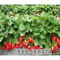 壹棵树农业批发脱毒四季草莓苗 分叉多 成活率高