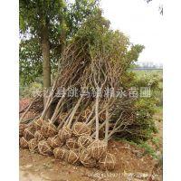 湖南湘永苗圃大量批发园林绿化树木樱花 品种纯正价格合理