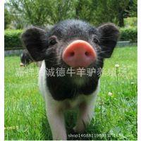厂家直销巴马小香猪 迷你香猪 欢迎来电订购