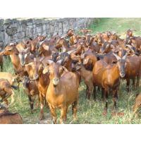 万隆畜牧养殖(图)|养肉羊挣钱吗|济宁肉羊