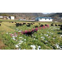 黑山羊养殖技术哪家好