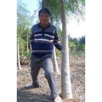 供应景观和药用价值树种---辣木树又称象腿树