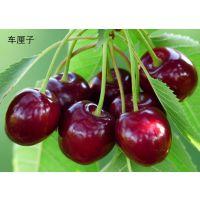 大樱桃苗哪里的好?泰安润佳农业大量供应优质红灯 美早 早大果等品种