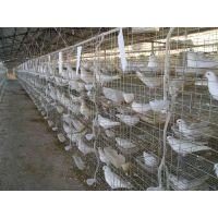 鸽笼鸽子笼 鸽子养殖笼 养殖鸽子笼价格