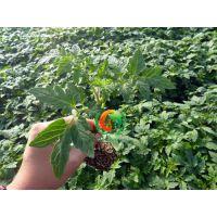 安信种苗(图)、出售西红柿苗、桥西西红柿苗