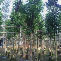 大量批发 5-15cm白玉兰 (黄角兰) 绿化乔木 行道树 园林风景树