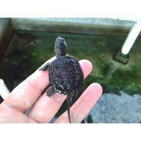 广东鹏翔养殖场供应背甲3~5公分北美小鳄龟苗养定成活率高10只包邮