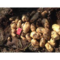 围场土豆代收多伦土豆代办13363881918