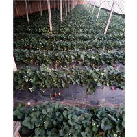 妙香七号草莓苗|露天草莓苗品种|泰安妙香七号草莓苗基地