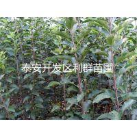 2015年苹果苗 新品种苹果树苗 富士苹果树苗 优质品种苹果树