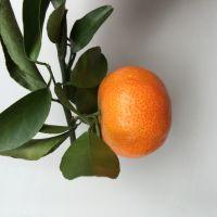 预售【沙糖桔、青皮蜜桔、冰糖橘】皮薄多汁,清甜可口 约30亩 产量约30万斤