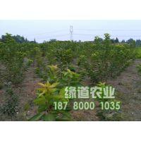 云南矮化大樱桃树苗种苗基地