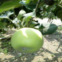 出售水果树苗 鑫豪园艺场批发苹果苗 山东苹果苗种植基地