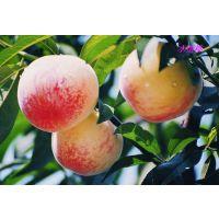 【京城果园】新鲜水果--大桃子--水蜜桃(12个)北京包邮