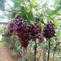 信森农业科技无核葡萄苗品种 晚熟红宝石无核葡萄苗价格