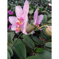 浙江温州批发出售蝴蝶兰,鲜艳高品质蝴蝶兰花出售销售,种植基地供应