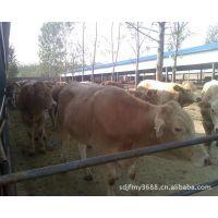 信誉养殖场养殖西门塔尔牛利润 福建漳平市建设养牛场标准