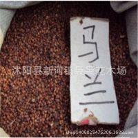 种子公司供应马兰种子 马兰头种子 野菜种子 保质保量 绿化苗木