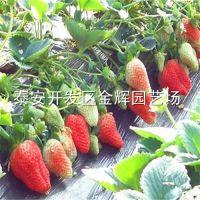 供应大棚红颜草莓苗 脱毒草莓苗 草莓苗的价格