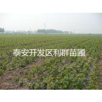 巨峰葡萄苗价格 葡萄树苗价格 山东优质葡萄苗基地