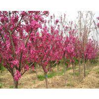 泰安北美海棠苗木,泰安北美海棠,聚源园林