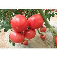 荷兰进口巨粉宝石-粉果番茄种子