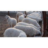 肉羊优良品种、聊城肉羊、万隆畜牧养殖